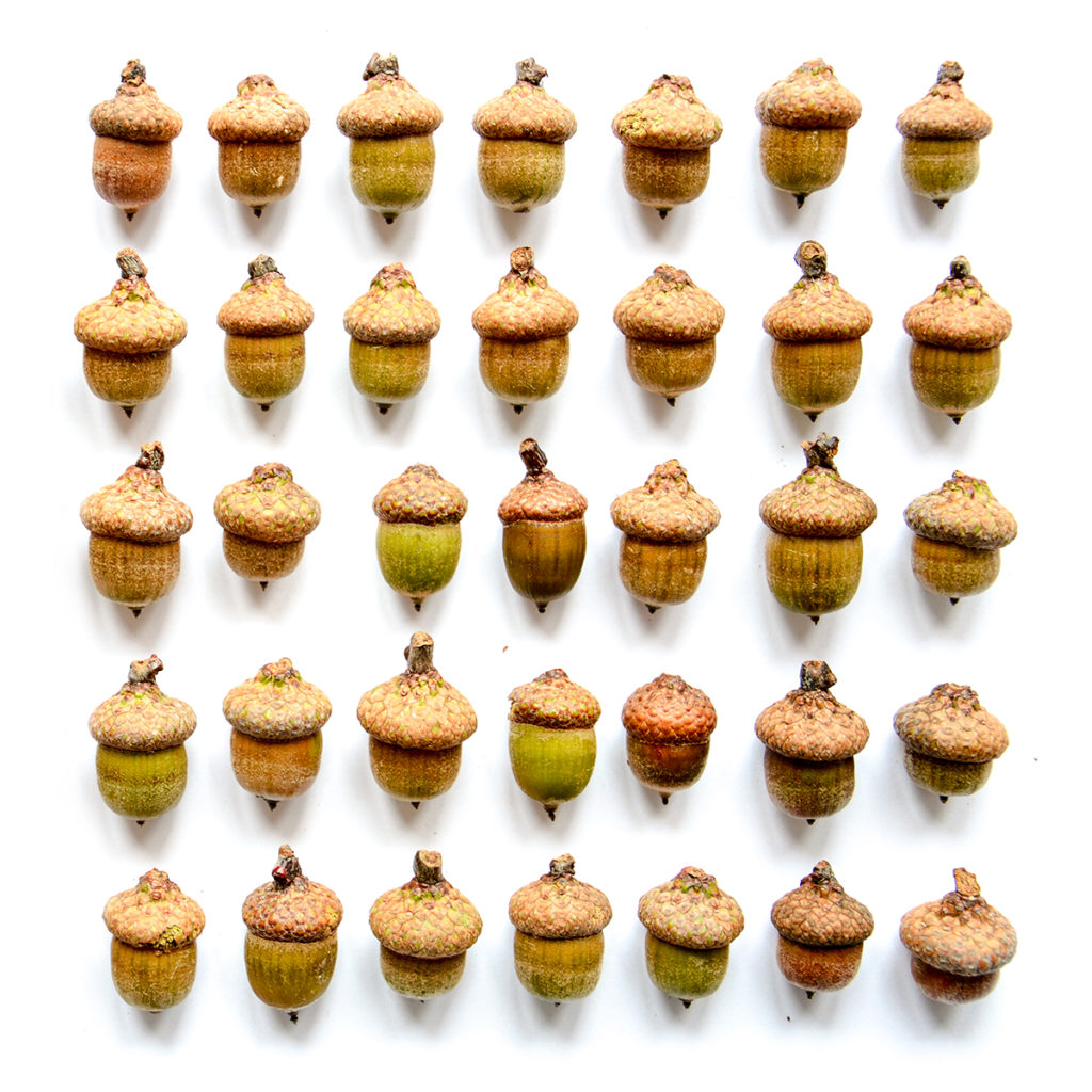 photo of 5 rows of acorns lined up on a white background